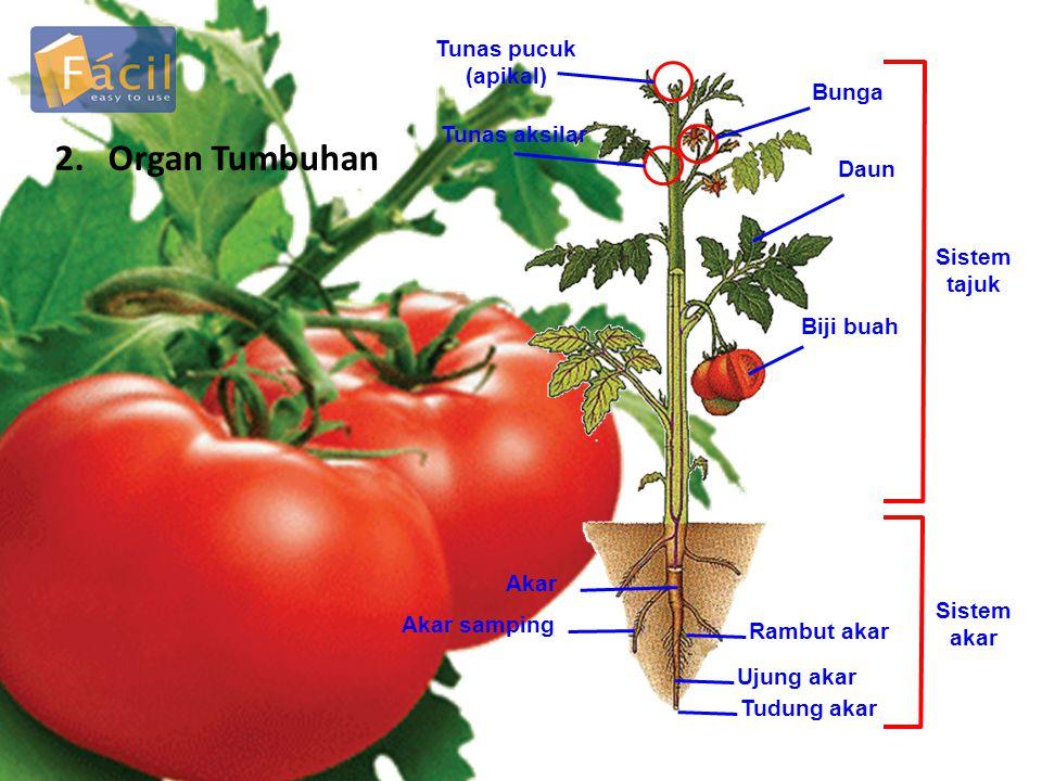 2. Organ Tumbuhan Tunas pucuk (apikal) Tunas aksilar Bunga Daun Biji buah Sistem tajuk Rambut akar Ujung akar Tudung akar Akar Akar samping Sistem aka