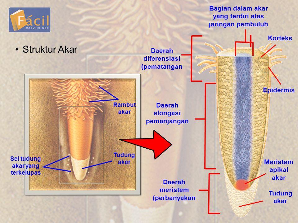 •Struktur Akar Sel tudung akar yang terkelupas Tudung akar Rambut akar Daerah diferensiasi (pematangan Daerah elongasi pemanjangan Daerah meristem (pe