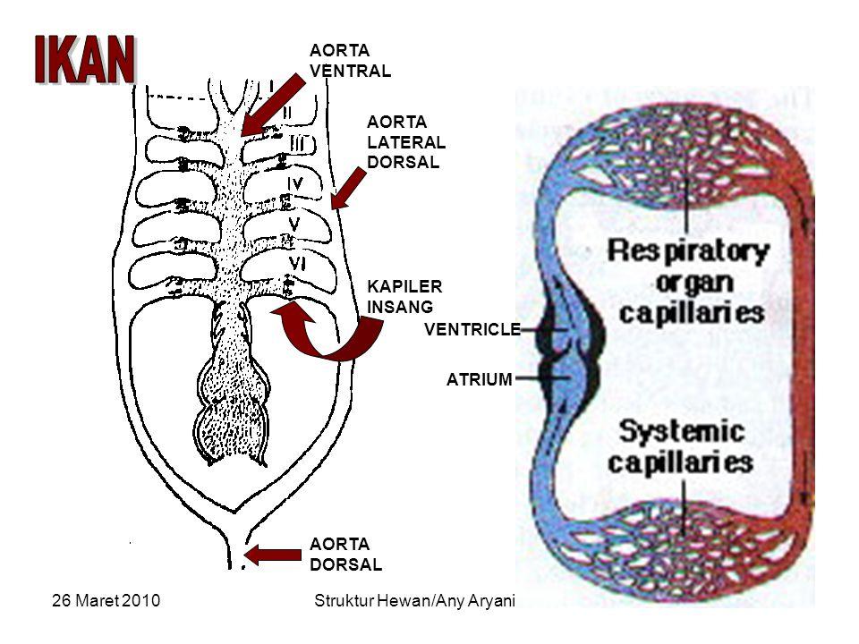 26 Maret 2010Struktur Hewan/Any Aryani/Bio10 AORTA VENTRAL AORTA DORSAL AORTA LATERAL DORSAL KAPILER INSANG VENTRICLE ATRIUM