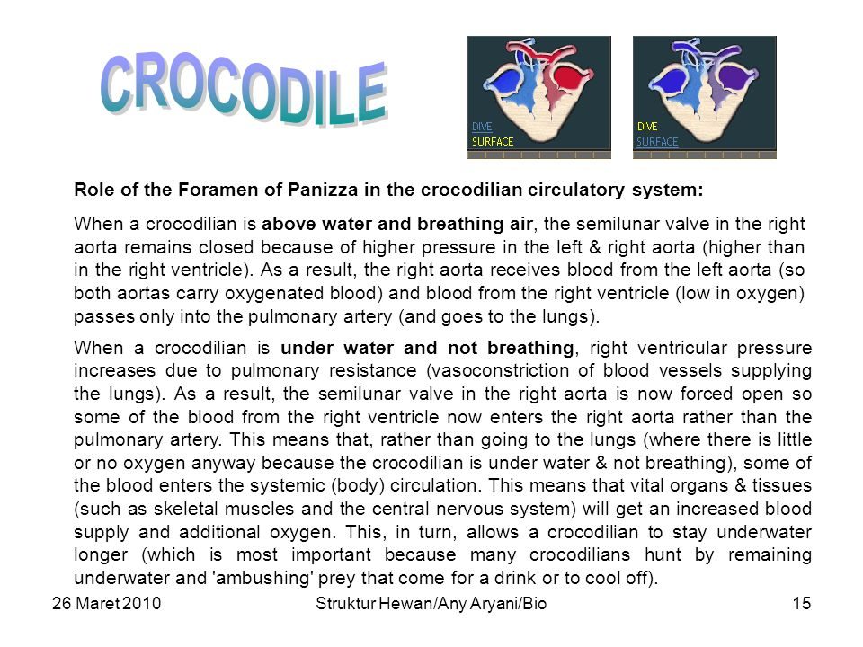 26 Maret 2010Struktur Hewan/Any Aryani/Bio15 Role of the Foramen of Panizza in the crocodilian circulatory system: When a crocodilian is above water and breathing air, the semilunar valve in the right aorta remains closed because of higher pressure in the left & right aorta (higher than in the right ventricle).
