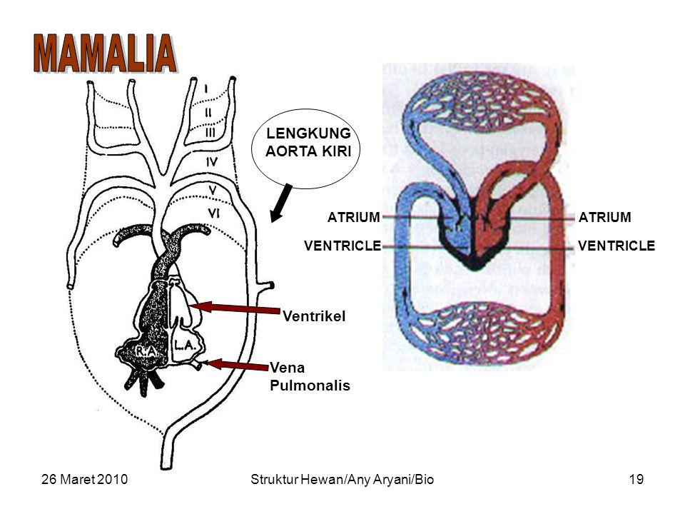 26 Maret 2010Struktur Hewan/Any Aryani/Bio19 Vena Pulmonalis Ventrikel ATRIUM VENTRICLE ATRIUM VENTRICLE LENGKUNG AORTA KIRI