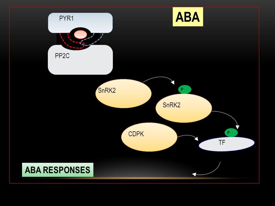 PYR1 PP2C P SnRK2 TF P ABA ABA RESPONSES SnRK2 CDPK