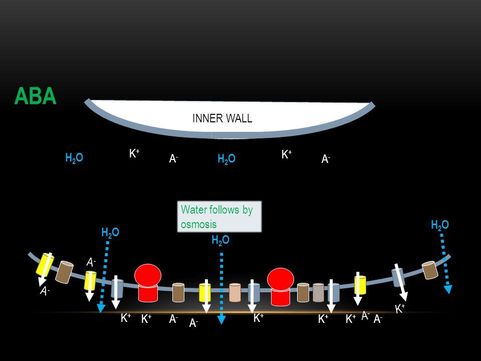 INNER WALL A-A- A-A- A-A- A-A- K+K+ K+K+ K+K+ K+K+ H2OH2O H2OH2O H2OH2O ABA Water follows by osmosis K+K+ A-A- K+K+ A-A- K+K+ A-A- H2OH2O K+K+ A-A- H2