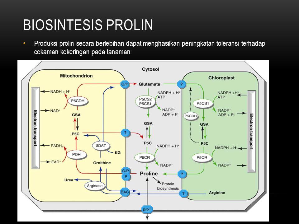 BIOSINTESIS PROLIN • Produksi prolin secara berlebihan dapat menghasilkan peningkatan toleransi terhadap cekaman kekeringan pada tanaman