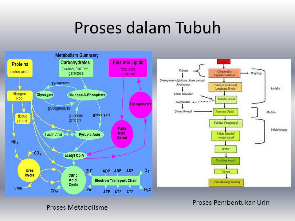 Proses dalam Tubuh Proses Metabolisme Proses Pembentukan Urin