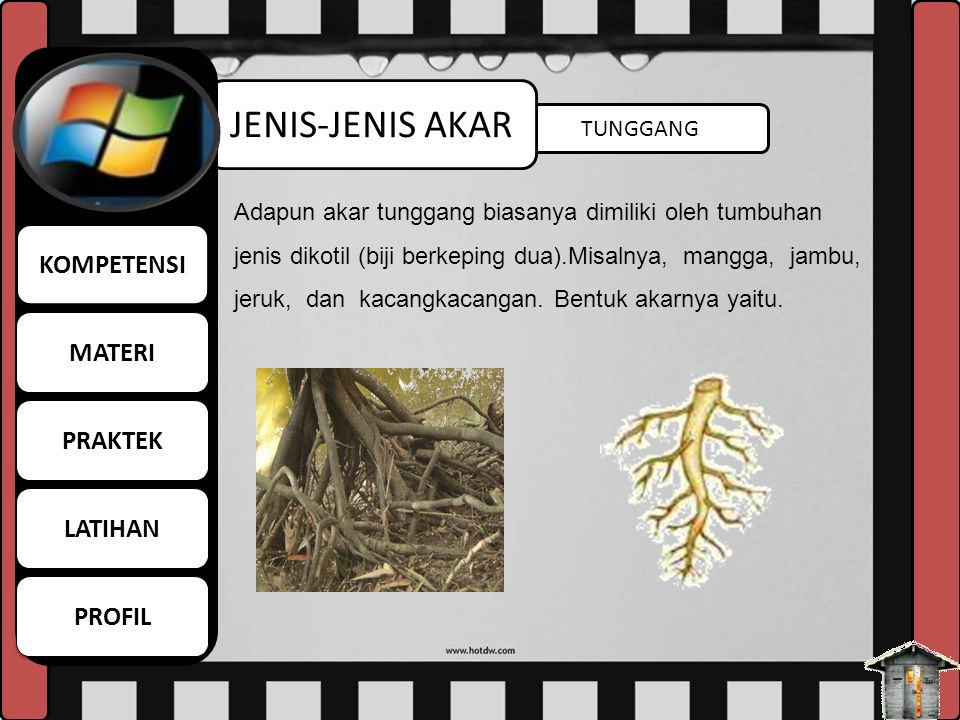 SERABUT JENIS-JENIS AKAR Berdasarkan bentuknya, akar dibedakan menjadi dua yaitu akar serabut dan tunggang. Akar serabut biasanya dimiliki oleh tumbuh