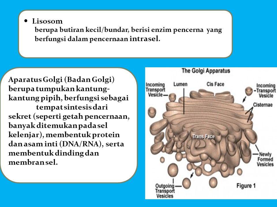  Lisosom berupa butiran kecil/bundar, berisi enzim pencerna yang berfungsi dalam pencernaan intrasel. Aparatus Golgi (Badan Golgi) berupa tumpukan ka
