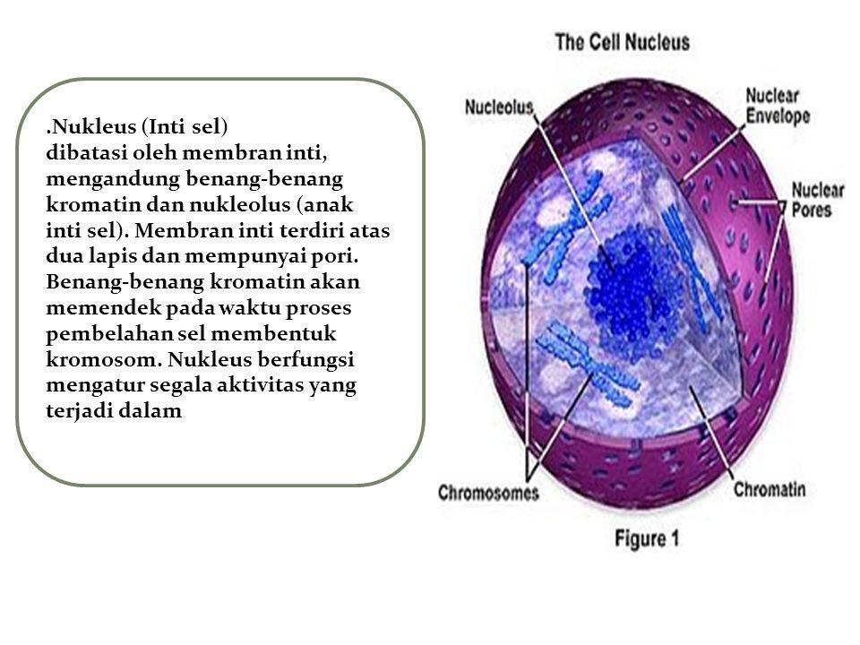 .Nukleus (Inti sel) dibatasi oleh membran inti, mengandung benang-benang kromatin dan nukleolus (anak inti sel). Membran inti terdiri atas dua lapis d