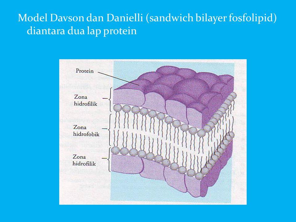 Model Davson dan Danielli (sandwich bilayer fosfolipid) diantara dua lap protein