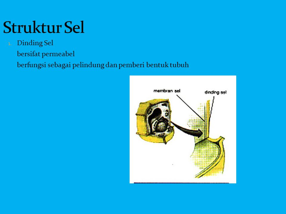 1. Dinding Sel bersifat permeabel berfungsi sebagai pelindung dan pemberi bentuk tubuh