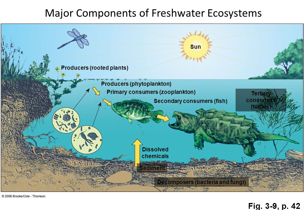Sun Producers (rooted plants) Producers (phytoplankton) Primary consumers (zooplankton) Secondary consumers (fish) Dissolved chemicals Tertiary consumers (turtles) Sediment Decomposers (bacteria and fungi) Fig.