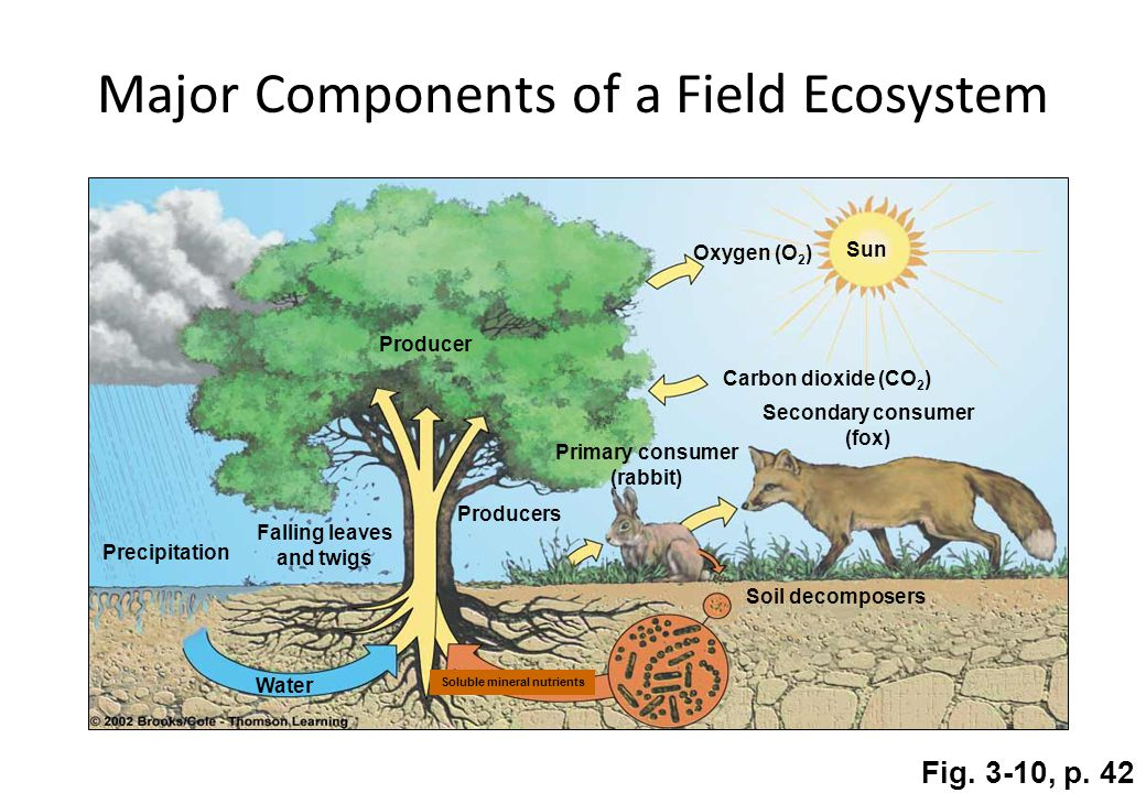 Sun Producer Precipitation Falling leaves and twigs Producers Primary consumer (rabbit) Secondary consumer (fox) Carbon dioxide (CO 2 ) Oxygen (O 2 ) Water Soil decomposers Soluble mineral nutrients Fig.