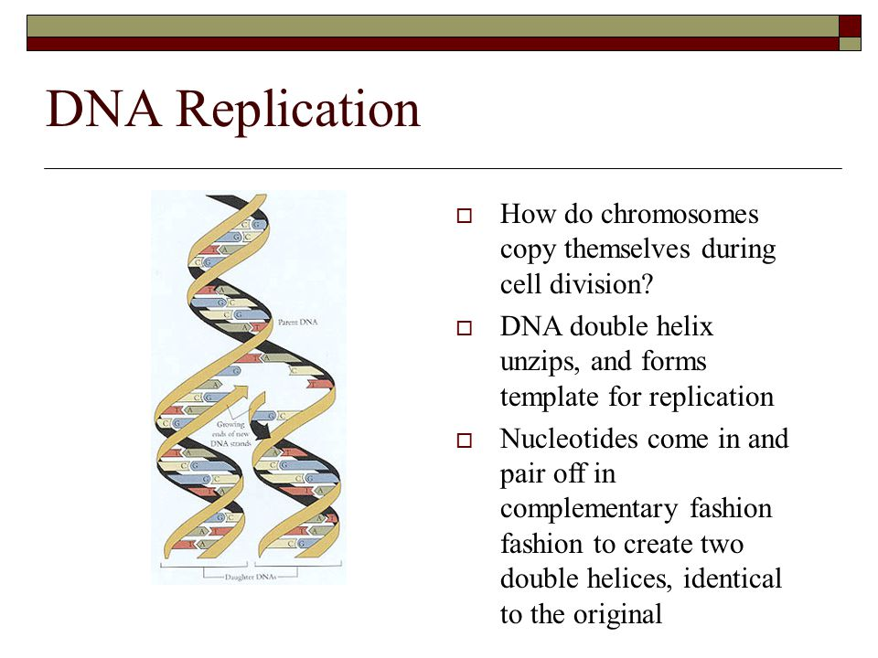 DNA Replication  How do chromosomes copy themselves during cell division?  DNA double helix unzips, and forms template for replication  Nucleotides