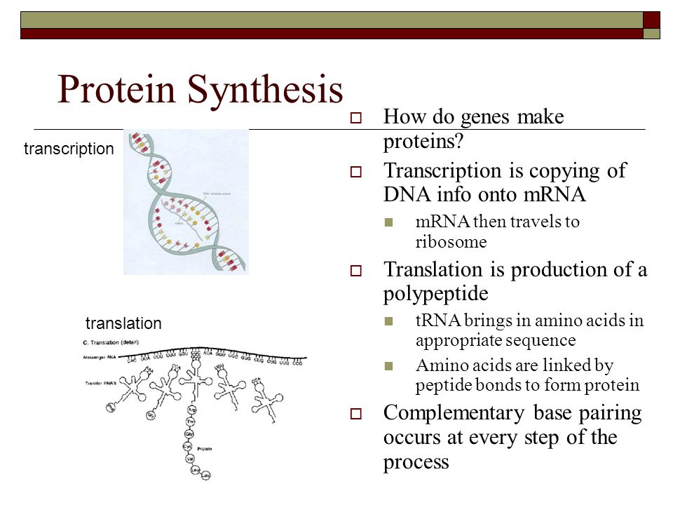 Protein Synthesis  How do genes make proteins?  Transcription is copying of DNA info onto mRNA  mRNA then travels to ribosome  Translation is prod