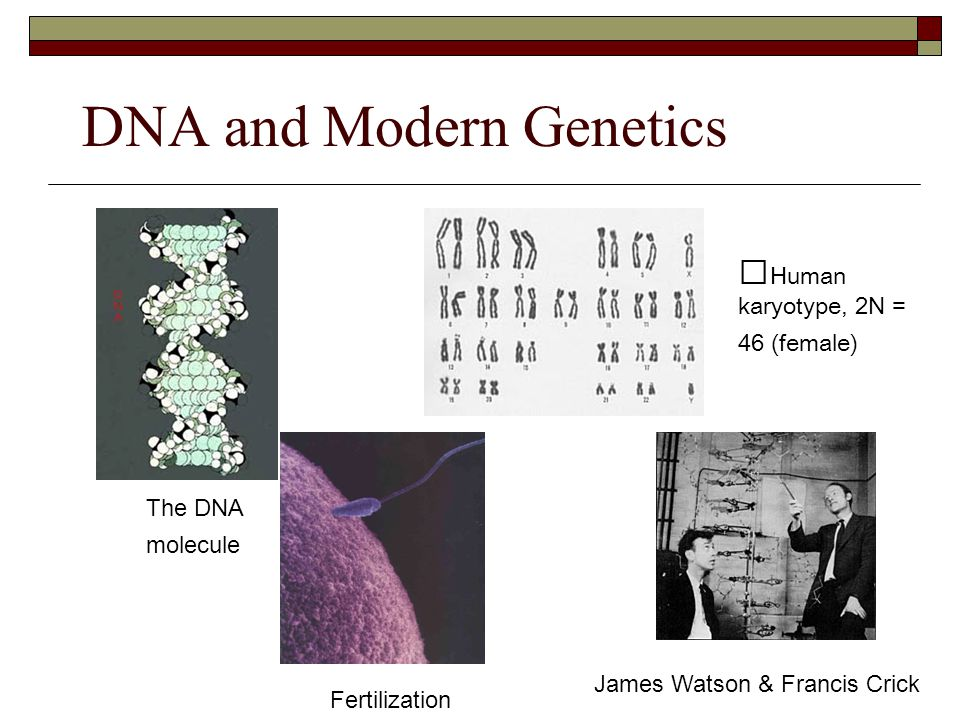 DNA and Modern Genetics Human karyotype, 2N = 46 (female) James Watson & Francis Crick The DNA molecule Fertilization