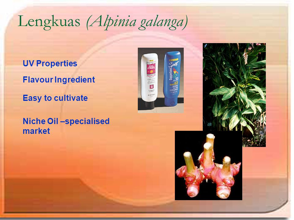 Lengkuas (Alpinia galanga) UV Properties Flavour Ingredient Easy to cultivate Niche Oil –specialised market