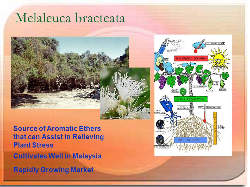 Melaleuca bracteata Source of Aromatic Ethers that can Assist in Relieving Plant Stress Cultivates Well in Malaysia Rapidly Growing Market