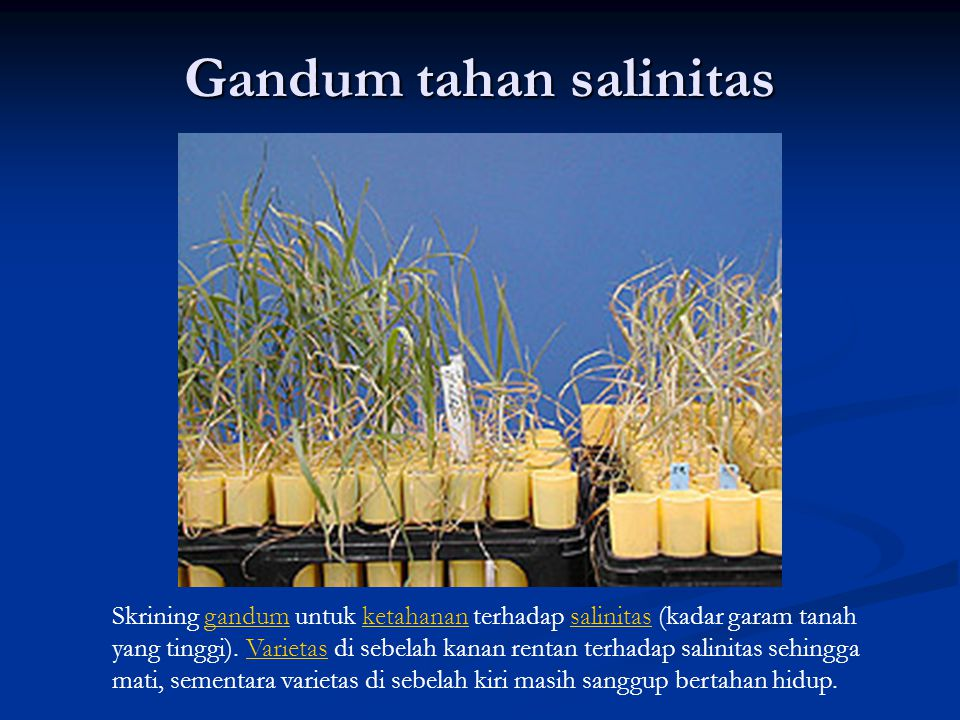 Gandum tahan salinitas Skrining gandum untuk ketahanan terhadap salinitas (kadar garam tanah yang tinggi). Varietas di sebelah kanan rentan terhadap s