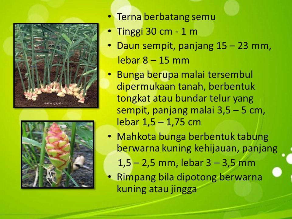 • Terna berbatang semu • Tinggi 30 cm - 1 m • Daun sempit, panjang 15 – 23 mm, lebar 8 – 15 mm • Bunga berupa malai tersembul dipermukaan tanah, berbentuk tongkat atau bundar telur yang sempit, panjang malai 3,5 – 5 cm, lebar 1,5 – 1,75 cm • Mahkota bunga berbentuk tabung berwarna kuning kehijauan, panjang 1,5 – 2,5 mm, lebar 3 – 3,5 mm • Rimpang bila dipotong berwarna kuning atau jingga