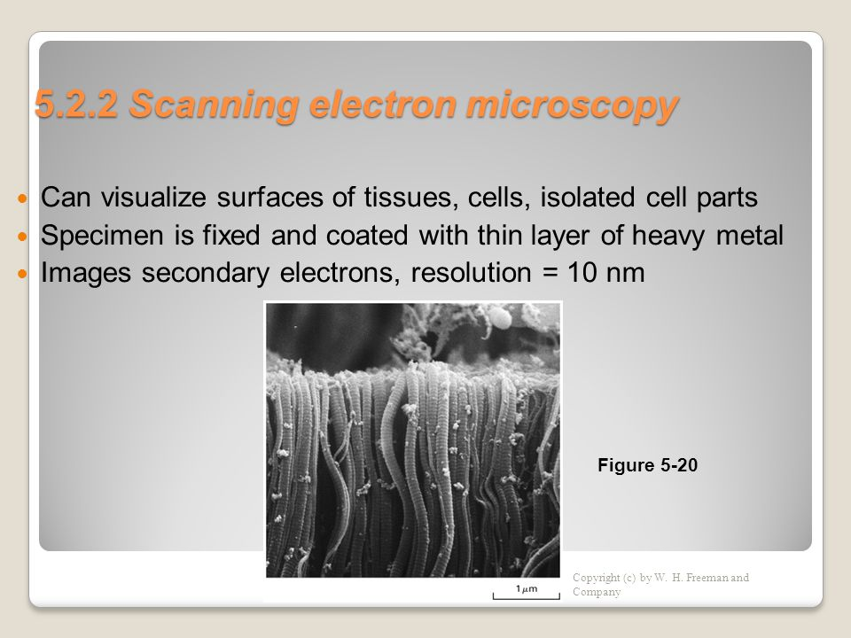 5.2.2 Scanning electron microscopy  Can visualize surfaces of tissues, cells, isolated cell parts  Specimen is fixed and coated with thin layer of heavy metal  Images secondary electrons, resolution = 10 nm Copyright (c) by W.