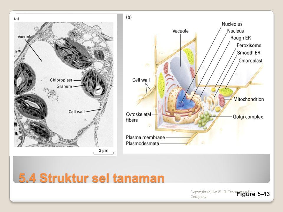 5.4 Struktur sel tanaman Copyright (c) by W. H. Freeman and Company Figure 5-43