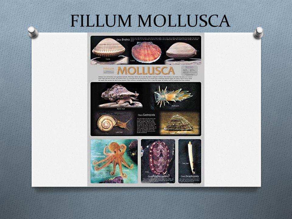 FILLUM MOLLUSCA