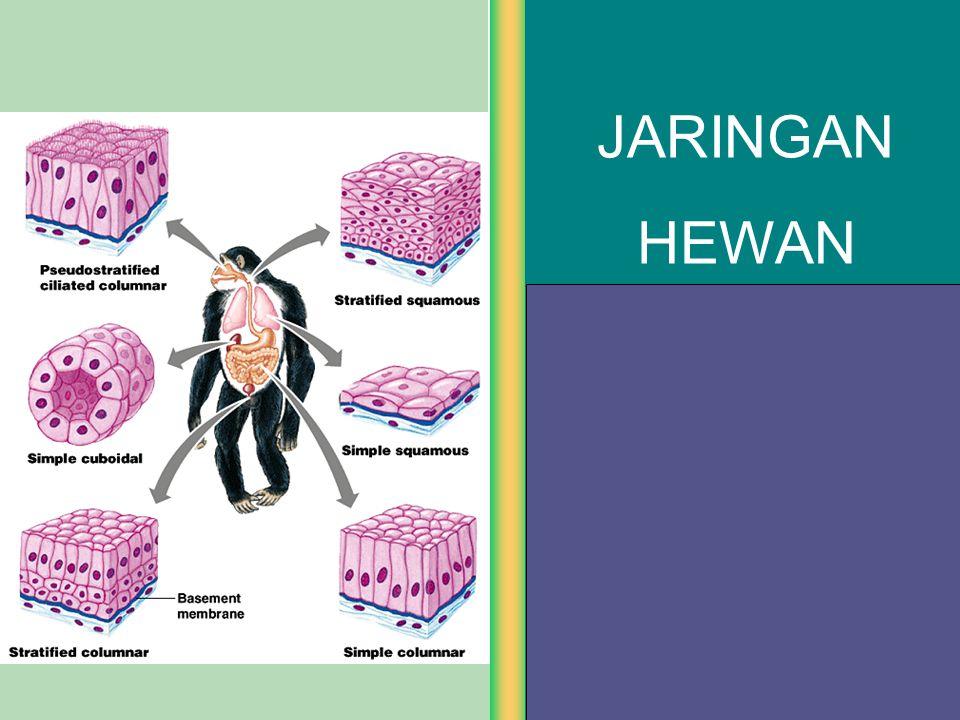Epitel Kubus Berdasarkan lapisan penyusunnya: 2.Epitel Kubus Berlapis Banyak  Lapisannya banyak  Fungsi sebagai pelindung gesekan & pengelupasan, absorpsi & sekresi  Terdapat di jaringan epitelium: a)Folikel ovarium b)Permukaan ovarium c)Testis d)Saluran kel.