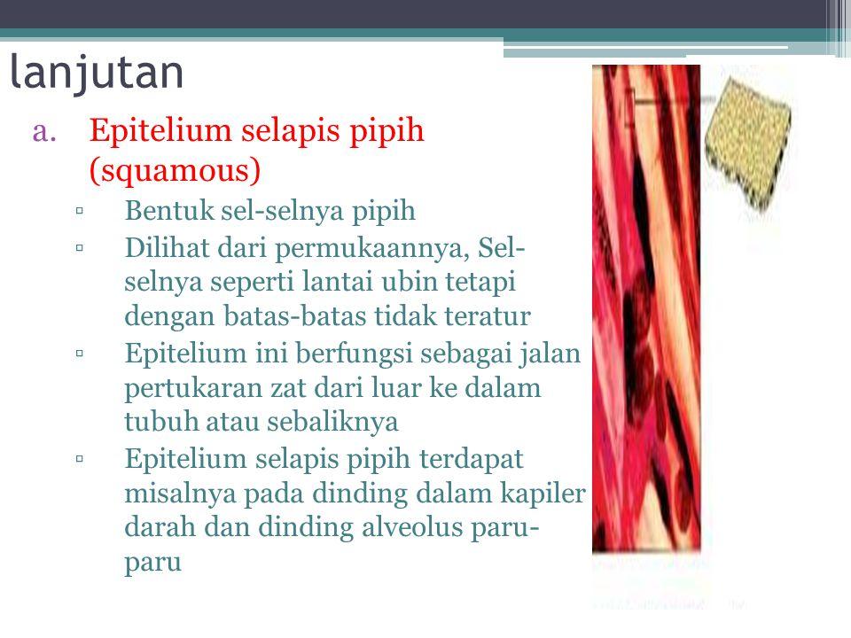 Epitel Pipih Selapis  Lapisannya hanya 1 lapis namun rapat sekali  Fungsi untuk difusi, osmosis, filtrasi, & sekresi  Terdapat di jaringan epitelium: a)Pembuluh limfe (getah bening), b)Pembuluh darah kapiler, c)Selaput pembungkus jantung, d)Paru-Paru, e)Ginjal, f)Selaput Perut