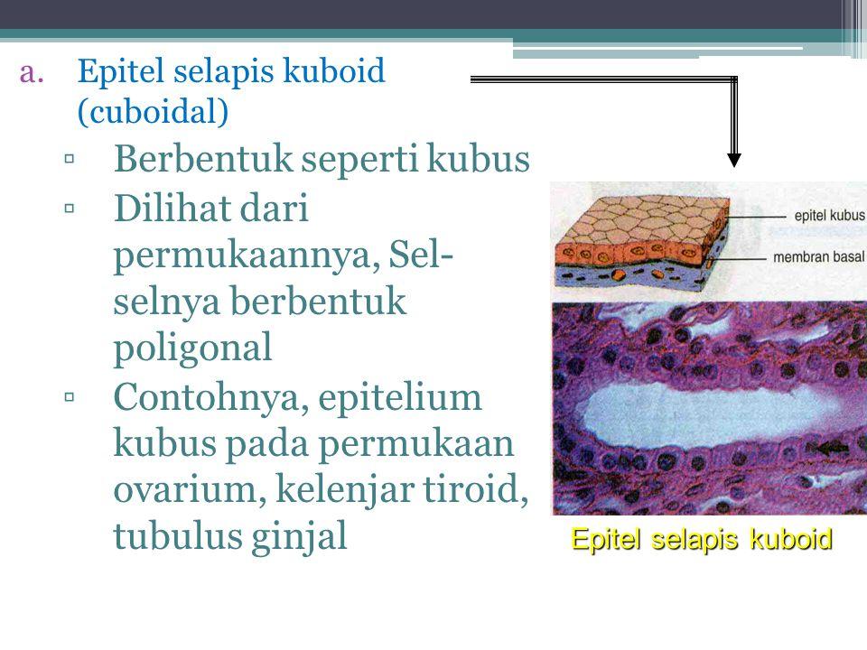 Epitel Silindris Berdasarkan lapisan penyusunnya: 2.Epitel Silindris Berlapis Banyak  Lapisannya banyak  Fungsi sebagai pelindung & sekresi  Terdapat di jaringan epitelium: a)Laring b)Faring c)Trakea d)Kelenjar ludah