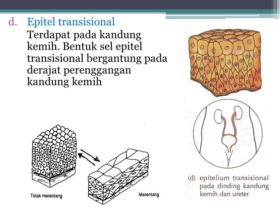Epitel Transisi Disusun oleh berlapis-lapis sel. Tidak dapat dikelompokkan karena bisa berubah dan permukaan lapisannya bisa menggembung Terdapat pada