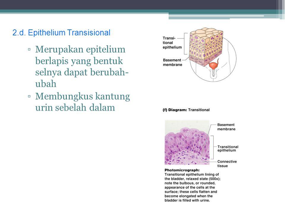 d.Epitel transisional Terdapat pada kandung kemih. Bentuk sel epitel transisional bergantung pada derajat perenggangan kandung kemih
