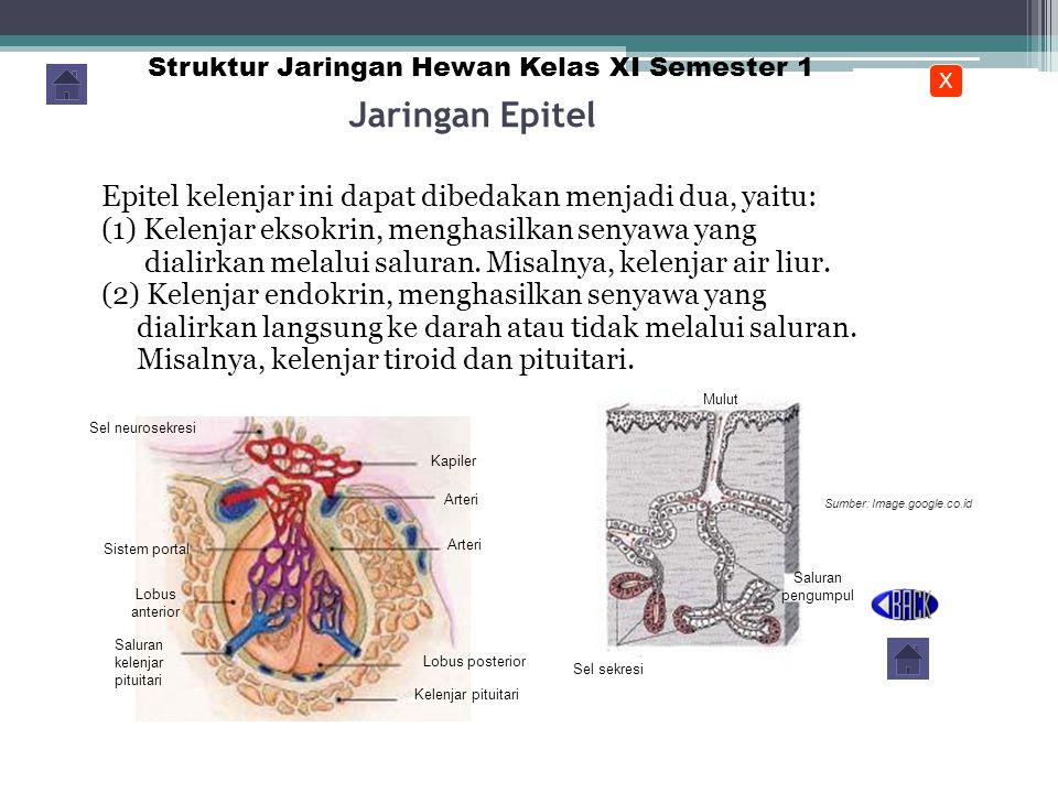 KELENJAR Merupakan jaringan yang dibentuk oleh sel – sel epitel yang terkhususkan dalam menghasilkan suatu sekresi cair Secara garis besar dibedakan menjadi: Kelenjar eksokrin:mempunyai saluran keluar Kelenjar endokrin:tidak mempunyai saluran