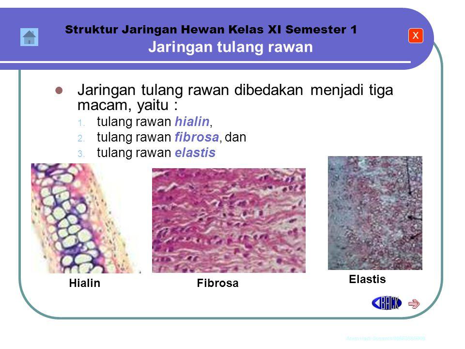 Anim Hadi Susanto 08563559009 c.Jaringan tulang rawan (kartilago) Jaringan tulang rawan disusun oleh sel-sel tulang rawan (kondrosit) yang dilindungi