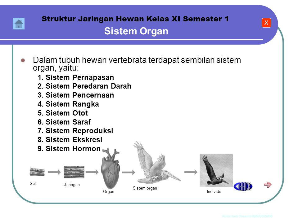 Anim Hadi Susanto 08563559009 Sistem Organ Struktur Jaringan Hewan Kelas XI Semester 1 Organ-organ bergabung menjalankan fungsi fisiologis tertentu un