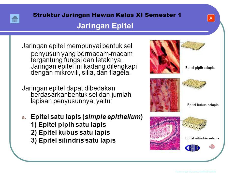 Anim Hadi Susanto 08563559009 1. Jaringan Epitel Jaringan epitel terdiri atas satu lapis atau lapis ganda sel-sel yang menutupi permukaan tubuh atau m