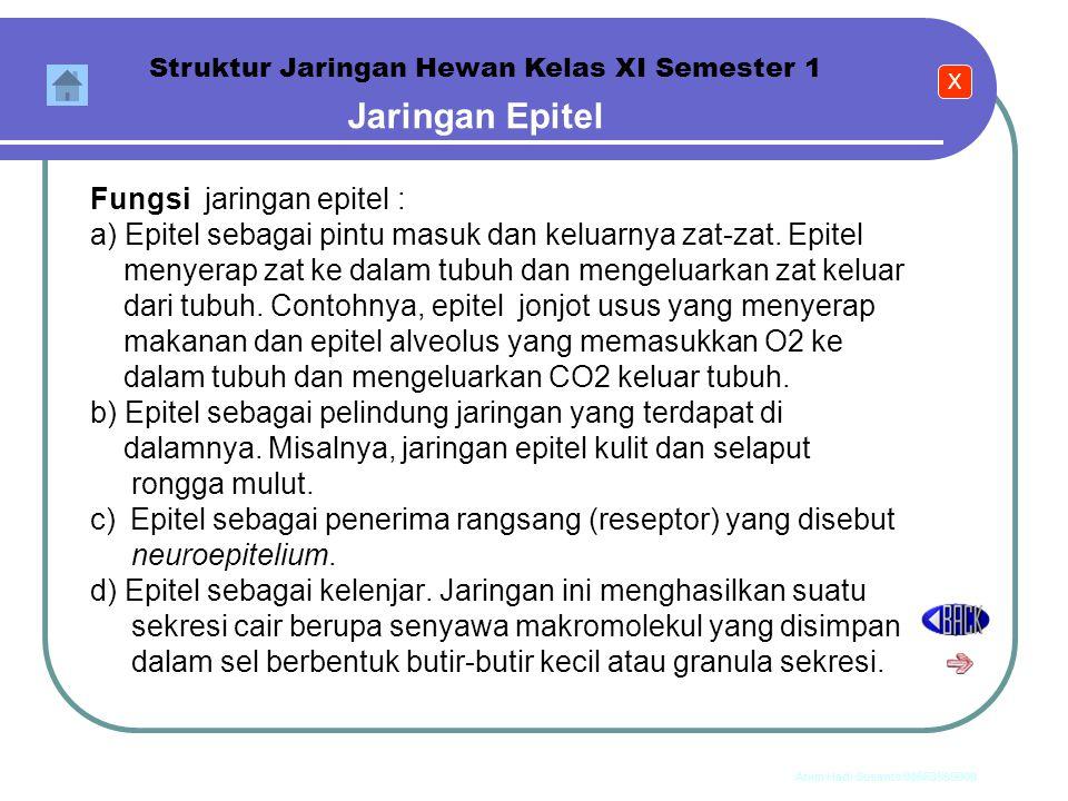 Anim Hadi Susanto 08563559009 Jaringan Epitel b.Epithel berlapis banyak (stratified epithelium)) 1) Epitel pipih berlapis banyak 2) Epitel kubus berla