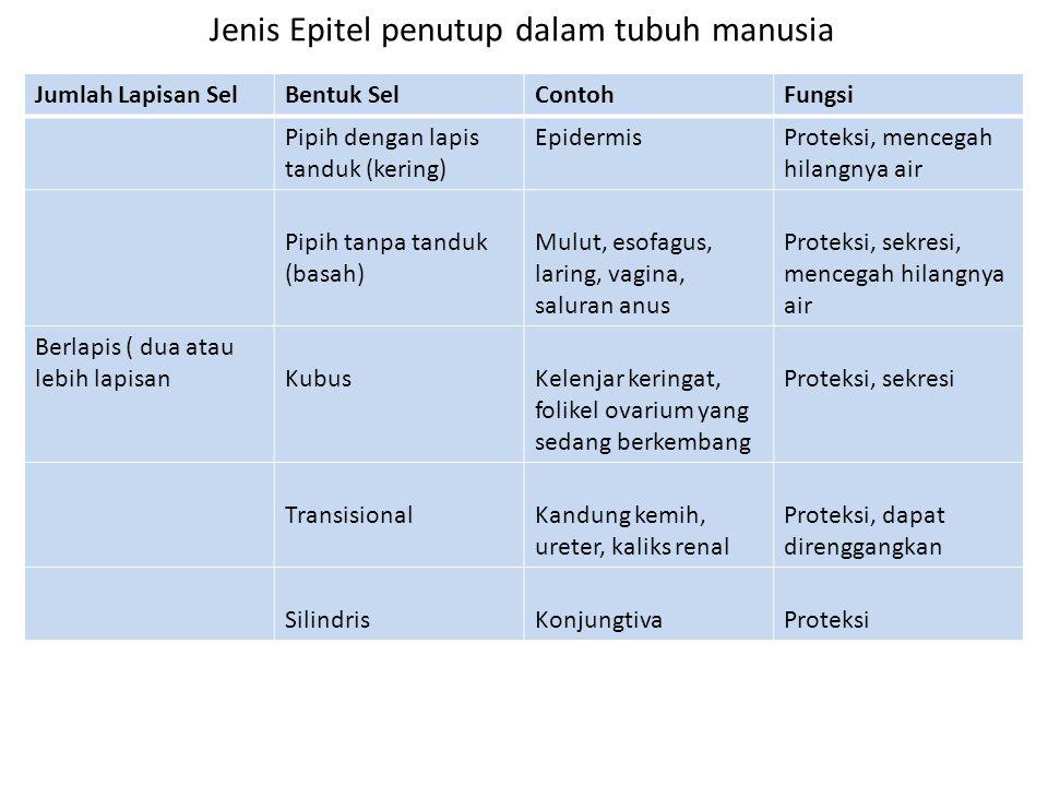 Jenis Epitel penutup dalam tubuh manusia Jumlah Lapisan SelBentuk SelContohFungsi Pipih dengan lapis tanduk (kering) EpidermisProteksi, mencegah hilan