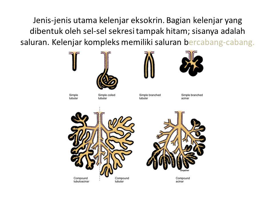 Jenis-jenis utama kelenjar eksokrin. Bagian kelenjar yang dibentuk oleh sel-sel sekresi tampak hitam; sisanya adalah saluran. Kelenjar kompleks memili
