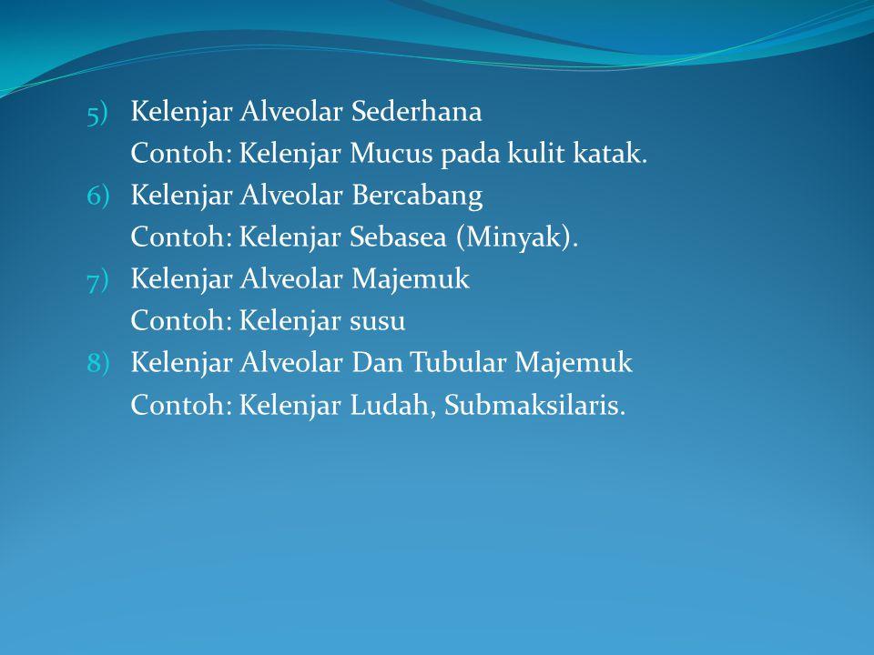 5) Kelenjar Alveolar Sederhana Contoh: Kelenjar Mucus pada kulit katak. 6) Kelenjar Alveolar Bercabang Contoh: Kelenjar Sebasea (Minyak). 7) Kelenjar