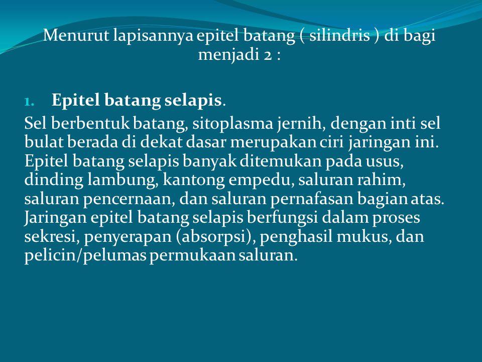 Menurut lapisannya epitel batang ( silindris ) di bagi menjadi 2 : 1. Epitel batang selapis. Sel berbentuk batang, sitoplasma jernih, dengan inti sel