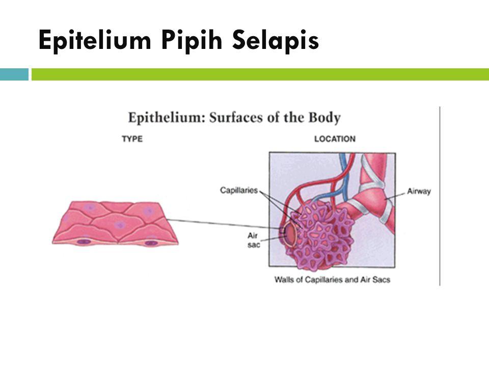 Epitelium Pipih Selapis