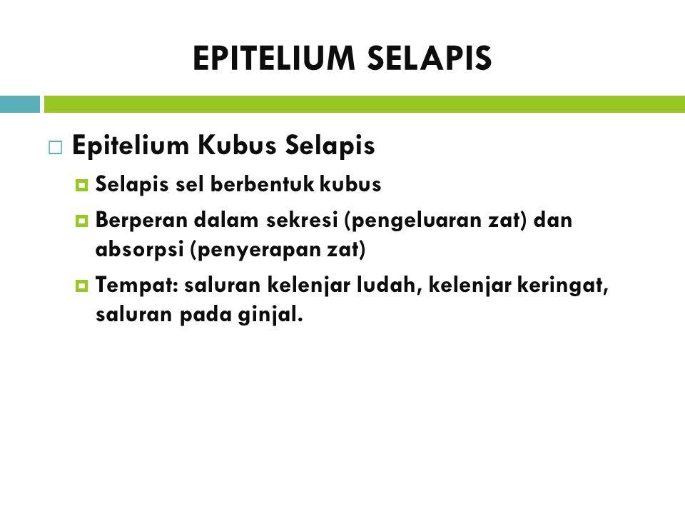 EPITELIUM SELAPIS  Epitelium Kubus Selapis  Selapis sel berbentuk kubus  Berperan dalam sekresi (pengeluaran zat) dan absorpsi (penyerapan zat)  T