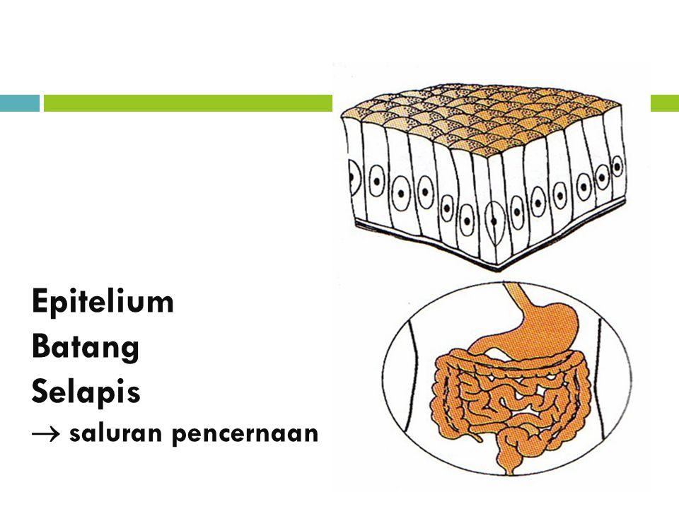 Epitelium Batang Selapis  saluran pencernaan