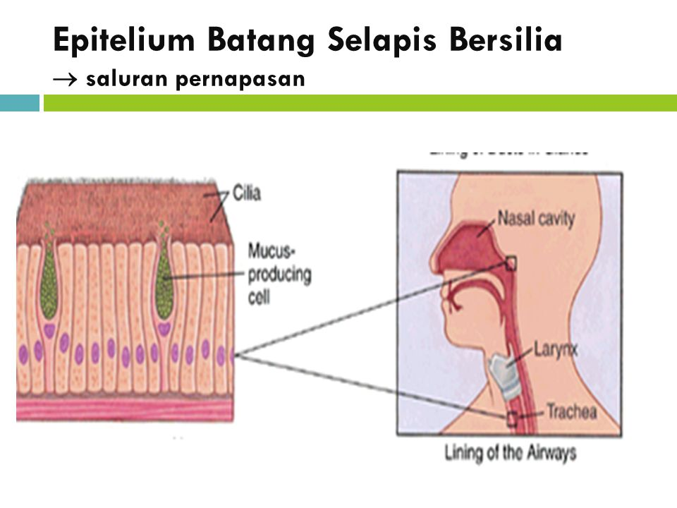 Epitelium Batang Selapis Bersilia  saluran pernapasan