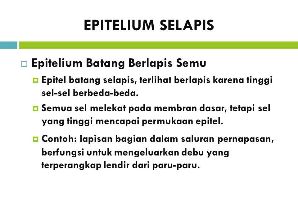 EPITELIUM SELAPIS  Epitelium Batang Berlapis Semu  Epitel batang selapis, terlihat berlapis karena tinggi sel-sel berbeda-beda.  Semua sel melekat