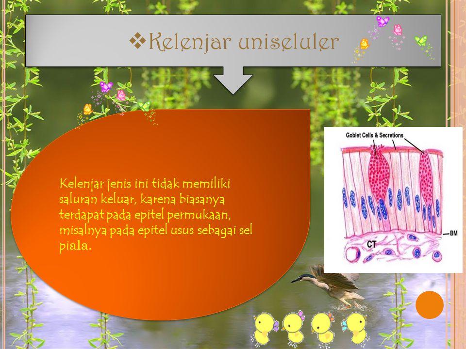  Kelenjar uniseluler Kelenjar jenis ini tidak memiliki saluran keluar, karena biasanya terdapat pada epitel permukaan, misalnya pada epitel usus seba