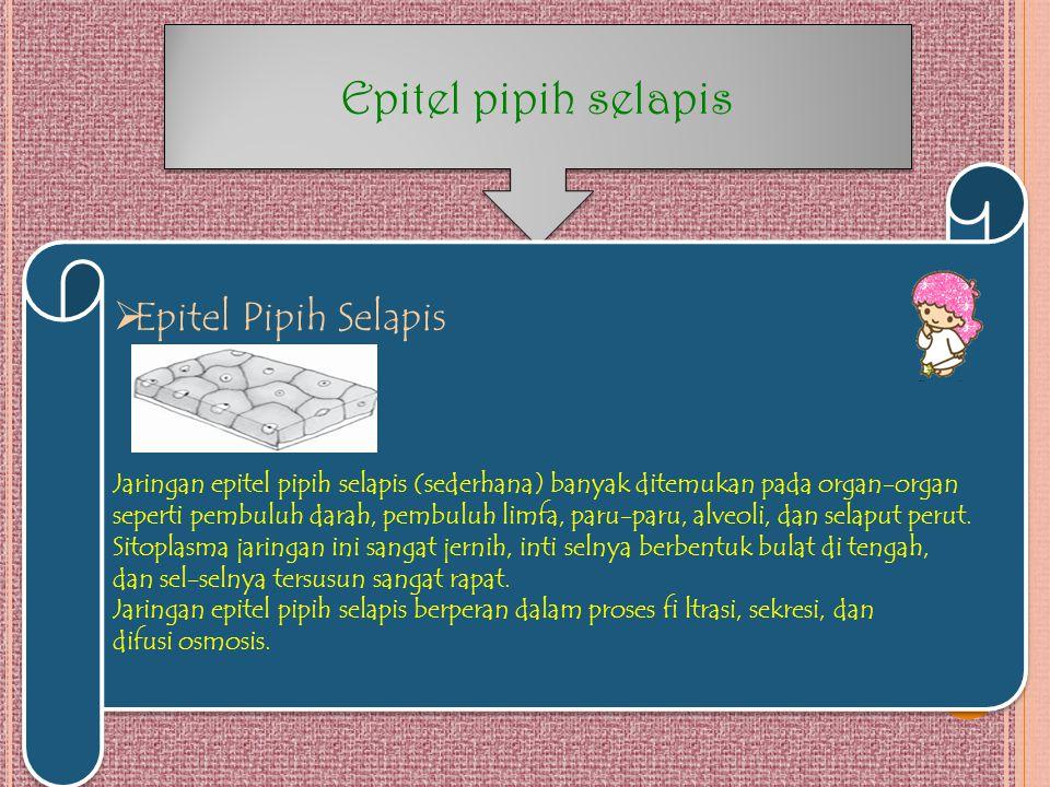 Epitel pipih selapis  Epitel Pipih Selapis Jaringan epitel pipih selapis (sederhana) banyak ditemukan pada organ-organ seperti pembuluh darah, pembul