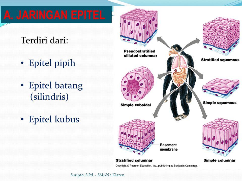 Terdiri dari: Epitel pipih Epitel batang (silindris) Epitel kubus A. JARINGAN EPITEL Suripto, S.Pd. - SMAN 1 Klaten