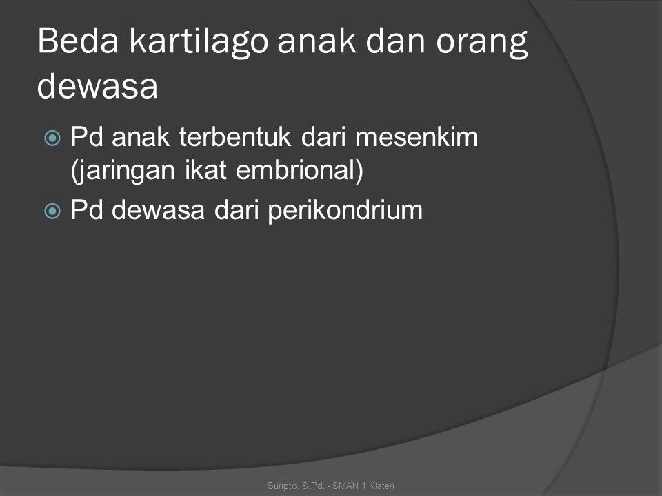 Beda kartilago anak dan orang dewasa  Pd anak terbentuk dari mesenkim (jaringan ikat embrional)  Pd dewasa dari perikondrium Suripto, S.Pd. - SMAN 1