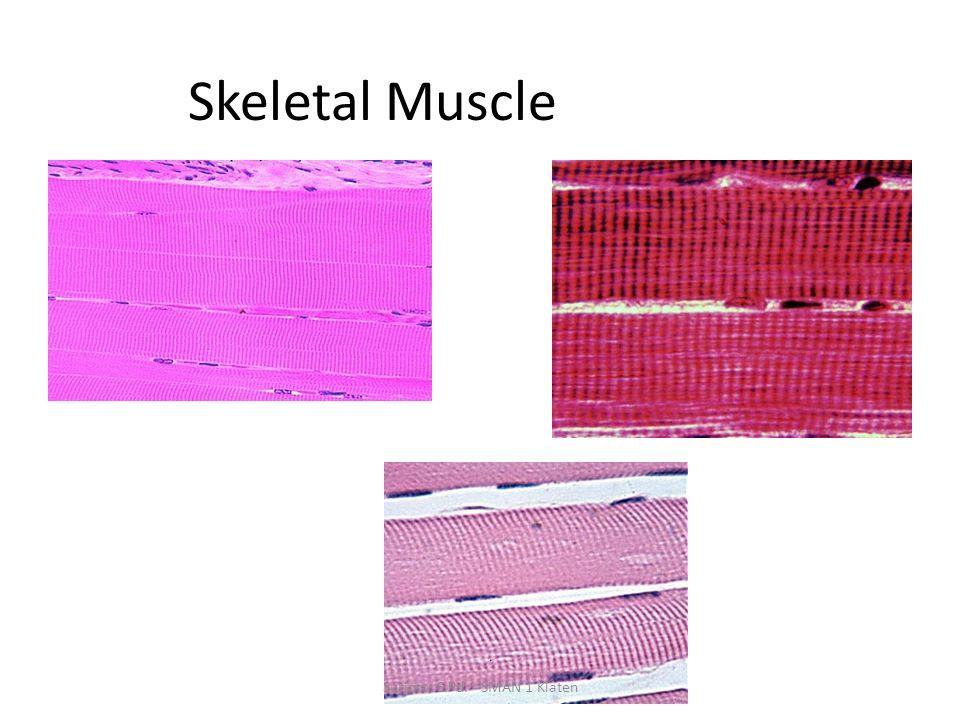 Skeletal Muscle Suripto, S.Pd. - SMAN 1 Klaten